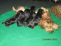 XMAS puppys ... Yorkshire terriers CKC ... 2 males/2