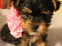 Beautiful Yorkshire Terrier puppies. We have 4