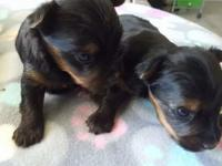 Two male Yorkshire Terrior puppies are 3 weeks old.