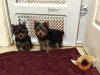 I have 2 male toy Yorkshire Terrior puppies