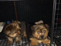 I have adorable male/female Yorkshire Terrier/ Shih Tzu