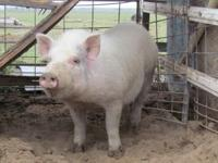 I have a 5 month old YorkX boar for sale. Weighing in