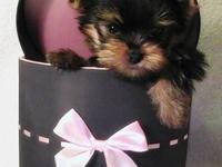 Tiny to toy Yorkshire Terrier(yorkie) babies ready to