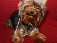 Purebreed Yorkshire terrier lady with documents now
