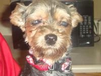 Yorkshire Terrier 7 years old. Retired breeder. She is