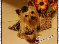 Meet SUMMER. She is a Yorkshire Terrier puppy for