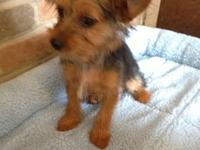 Have you always wanted a yorkie? I have a sweet female