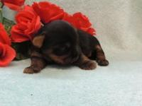 Gorgeous litter of Yorkies from Cheri, (standard