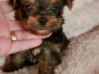 Teddybear Yorkie boy..PERFECT BOY, NO FLAWS  TEXT OR