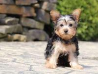 Poppy is a gorgeous ACA Yorkie with a big heart!!!