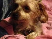 Yorkshire Terrier Yorkie - Gretl - Small - Adult -
