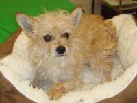 Yorkshire Terrier Yorkie - Joann - Small - Adult -
