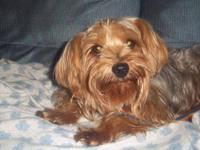 Yorkshire Terrier Yorkie - Lovie - Small - Adult -