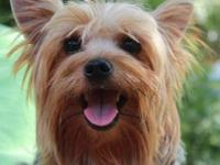 Yorkshire Terrier Yorkie - Mozie - Small - Young - Male