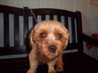 Yorkshire Terrier Yorkie - Muffin - Small - Adult -