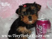 Description www.TinyYorkieKisses.com Kari  Tiny Yorkie