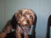 Yorkshire Terrier Yorkie - Simon---adopted - Small -