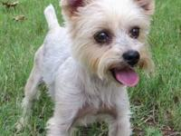 Yorkshire Terrier Yorkie - Winston - Small - Adult -