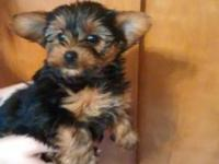 We have an adorable litter of yorkie puppies available.