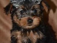 Tiny Toby- (600.00) -- CKC Registered YORKSHIRE TERRIER