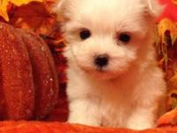 Beautiful healthy Yorktese, Maltese and Yorkie cross,