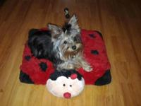 *** THIS IS A VERY NICE FEMALE YORKY *** SHE IS