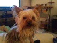 FEMALE YORKY TERRIER PUPPY SHE'S HAD ALL HER SHOTS AND
