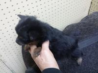 Yorkshire pomeranian mix male 8 weeks shots wormed
