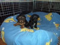 2- male yorkypoos...1-black and 1- black/tan.ready end