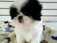 Yoshi is a soft sweet mix of Shih Tzu and Japanese