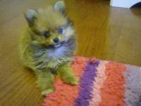 I have a two beautiful male Pomeranians available. They