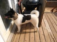 1 year old AKC Black and White female...Intact ....up