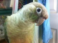 I have many young green cheek conures that I have hand
