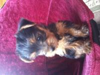Looking for a caring home for this young male Yorkie