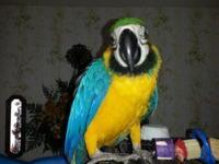 .Blue & Gold Macaw for Sale $400 Young macaw Beautiful