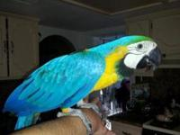 . Blue & Gold Macaw for Sale $400 Young macaw Beautiful