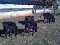 young beef crosscd calves-200lb range calves crossed