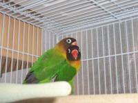 2 black-masked green lovebirds named Bob and Marley.