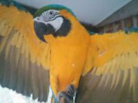 Looking for a loving home for our blue and gold, very