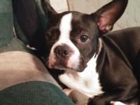 Female Boston who is six months old. Has been dewormed