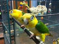 Beautiful young caique. Cage mate has sold. Just this