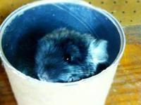 LvL Chinchillas breeds quality chinchillas with great