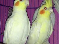 Have three cockatiels: two lutinos (yellow and white)