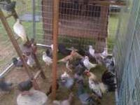 I have about 30 young common pigeons for sale for $3.00