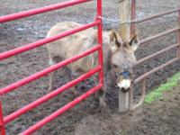 Young jack mini donkey. He was born June 17, 2011 on
