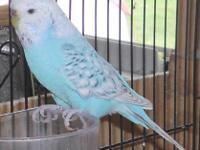 Female- Sky blue Recessive Pied Opaline. Hatched