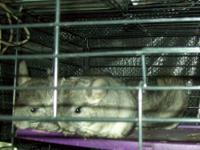 I have 4 female chinchilla babies for sale. 2 were born