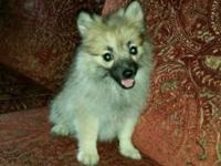 I have a young female Pomeranian puppy about just past