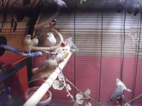 YOUTHFUL GOULDIAN FINCHES. 2 dilute males- all