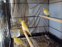 Young healthy yellow and orange male or female canaries